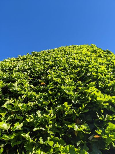 Low angle view of fresh green plants against clear blue sky