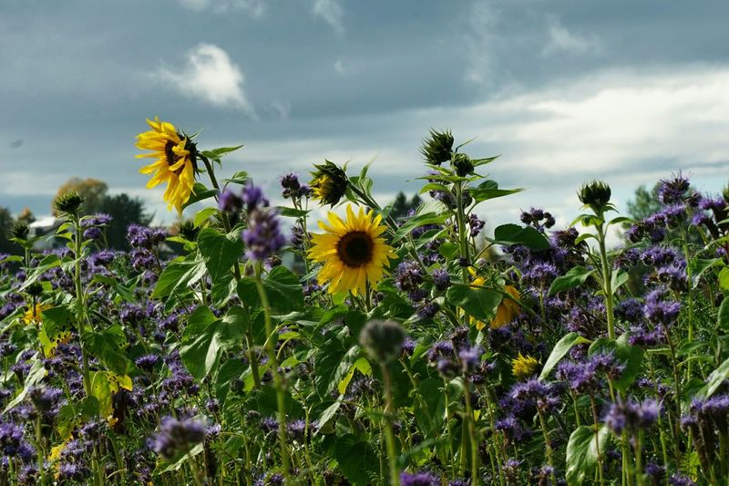 Sunflowers Flower Plant Cloud - Sky Nature Growth Day Purple