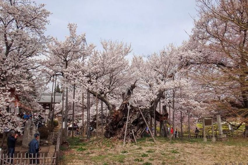 神代桜 EyeEm Best Shots EyeEm Nature Lover 桜 Tree Plant Sky Nature Day Growth Beauty In Nature