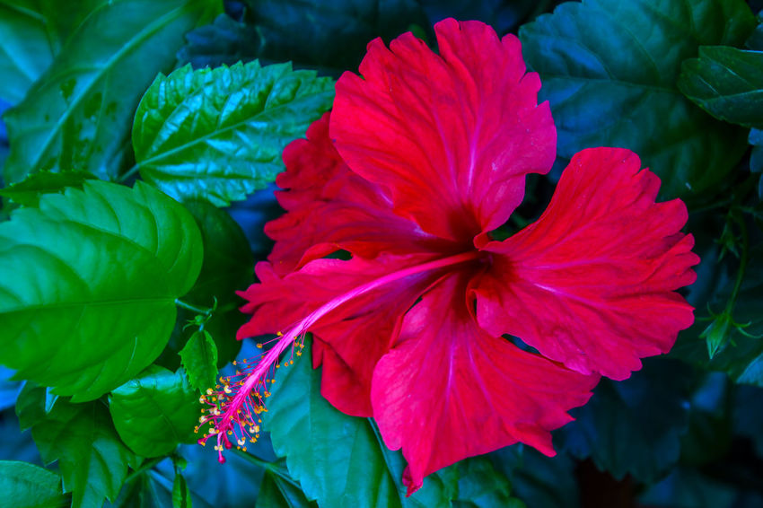 Beauty In Nature Close-up Day Flower Flower Head Flowering Plant Focus On Foreground Fragility Freshness Green Color Growth Hibiscus Inflorescence Leaf Nature No People Outdoors Petal Plant Plant Part Pollen Red Vulnerability