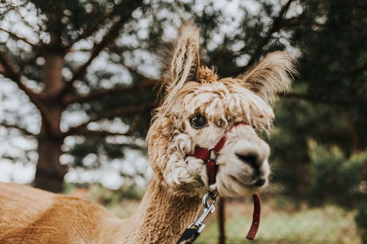 Close-up of a alpaca in ranch