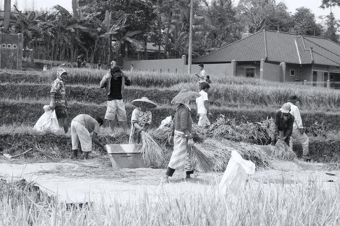 rinsing of grain harvested Blackandwhite Day Farmer Grain Harvest Harvested Harvested Field Outdoors Rinsing Rural Scene