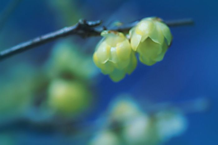 Showcase: January Macro Beauty Fleshyplants Colors EyeEm Nature Lover Colorful Yellow Bokeheffect Airy Flowers EyeEm Flower ロウバイ Bokeh Blossom Airy Blue