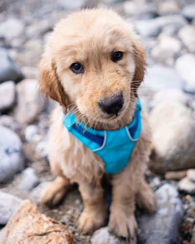 Puppy Smirk One Animal Dog Mammal Canine Domestic Pets Domestic Animals Animal Portrait Young Animal Puppy No People Looking At Camera