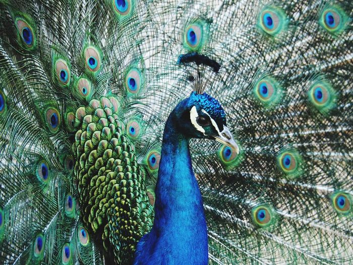 Peacock Iwantthatcamera Bird Peacock Feather Animal Animal Themes Vertebrate Feather  Animal Wildlife One Animal Fanned Out Full Frame Animals In The Wild Blue No People Beauty In Nature Male Animal