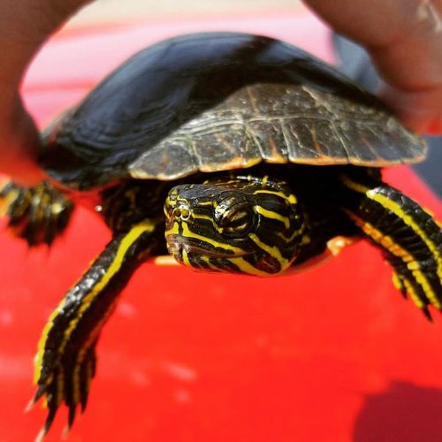 #red #stripes #turtle #Turtles Animal Wildlife Animals In The Wild Close-up Nature Outdoors
