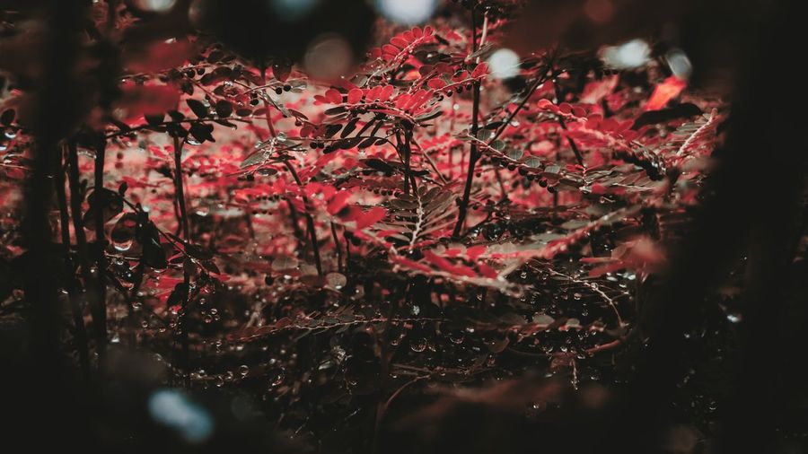 Noperson Park Branch Blur Garden Celebration Christmas Decoration Texture Desktop Fall Color Flower RainDrop Nature Abstract Leaf Winter Light Closeup Outdoors Tree Red Close-up Plant Life Leaf Vein Leaves Cherry Blossom Petal Pink