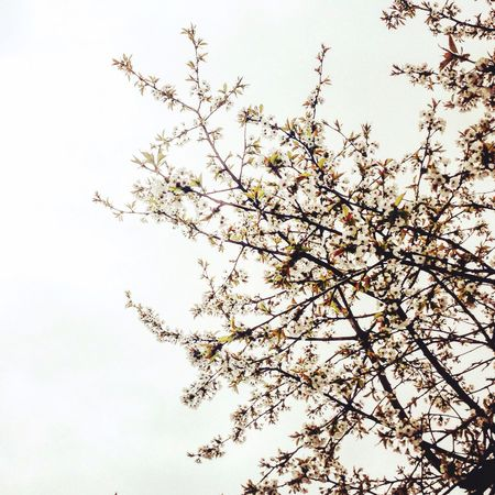 Beauty In Nature No People Tree Flower Nature Springtime Sky Blossom Spring
