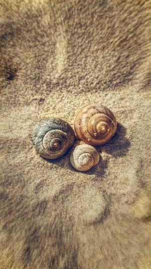 Gastropod Snail
