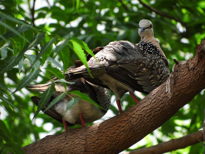 THE BIRDS ON THE TREE Preening Feathers Hot Sunny Day Relaxing Pigeons Preening Birds Branches Of Trees Nature Lush - Description Bird Tree Perching Branch Close-up Bird Of Prey
