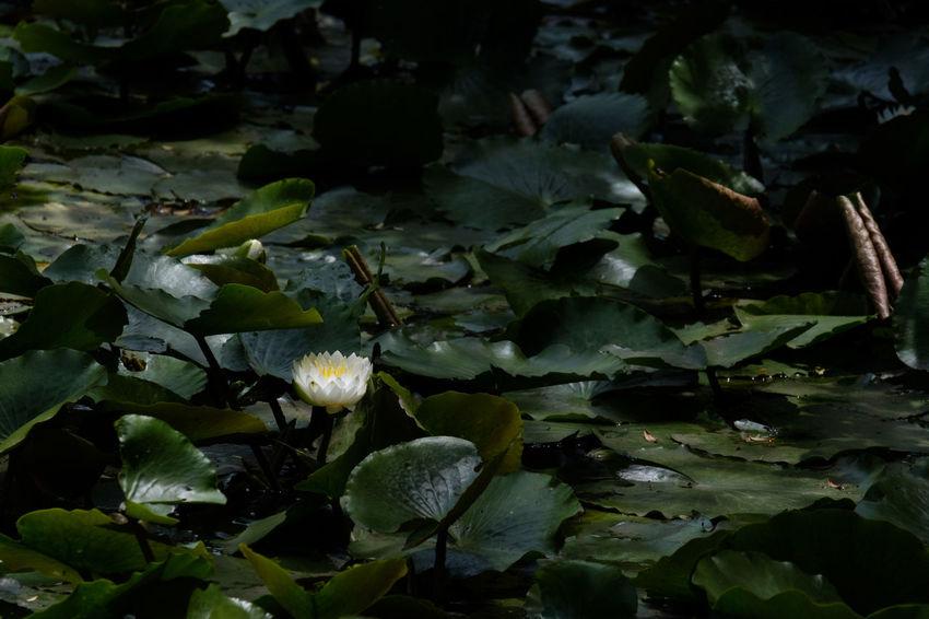 Beauty In Nature Flower Flower Head Flowerporn Fragility Freshness Fujifilm FUJIFILM X-T2 Fujifilm_xseries Growth Japan Japan Photography Nature Outdoors Petal Plant Pond Waterlily X-t2 スイレン スイレン 手児奈霊神堂 池 睡蓮