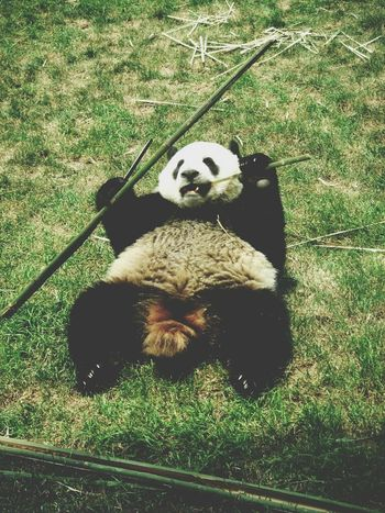 Cute Animals Iloveanimals Animals Zoo Inthezoo Cutepanda PANDA ♡♡ Panda
