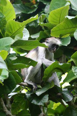 Monkey Zanzibar Zanzibar Tanzania Leaf Fruits Colobus Monkey One Animal Animal Themes Animal Plant Part Leaf Animal Wildlife Plant Animals In The Wild Green Color Beauty In Nature No People Close-up Tree