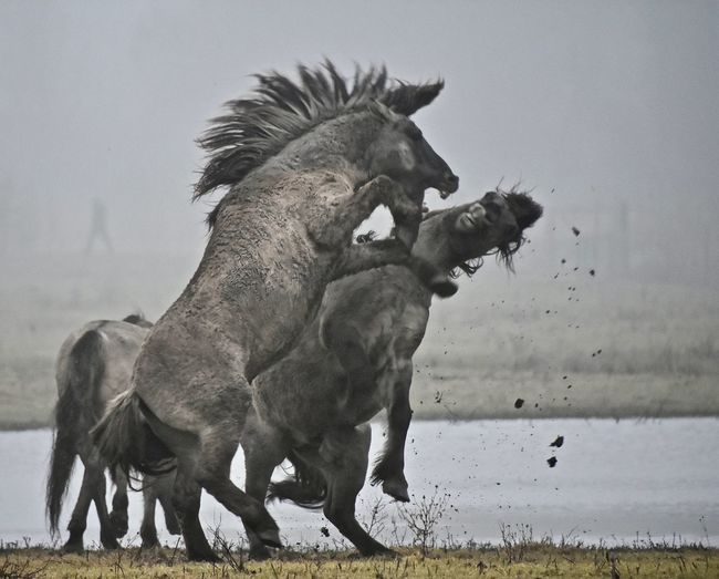 Horses In Conflict Outdoors