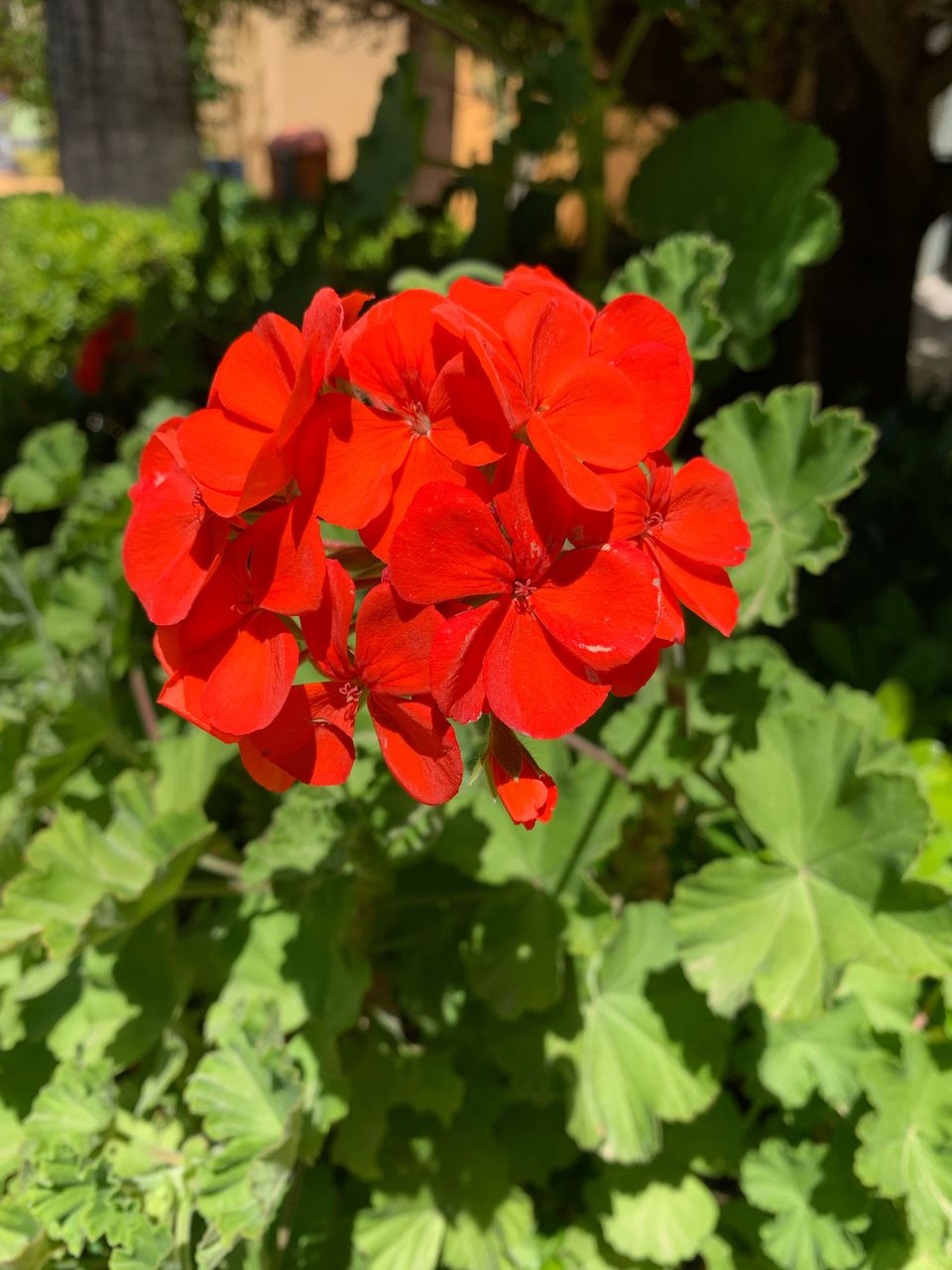 flowering plant, flower, beauty in nature, plant, vulnerability, fragility, petal, growth, red, inflorescence, freshness, flower head, close-up, nature, focus on foreground, day, green color, plant part, no people, leaf, outdoors