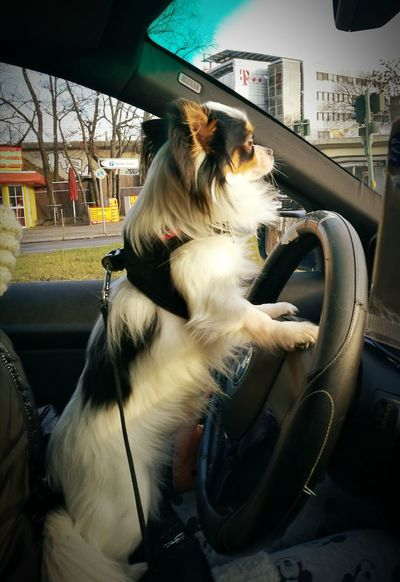 my dog the chauffer Dog Day Car Transportation Car Interior Adult Sitting City Day