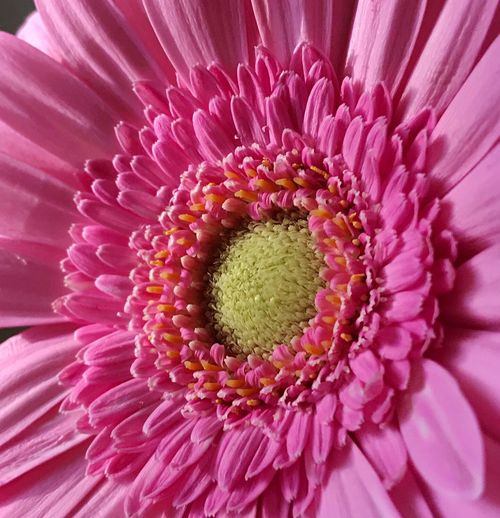 Pink & frilly 💕💕💕 Flower Petal Flower Head Beauty In Nature Close-up Pink Flower Gerbera Daisy Flower Collection Flower Photography Flowerporn Texture In Nature