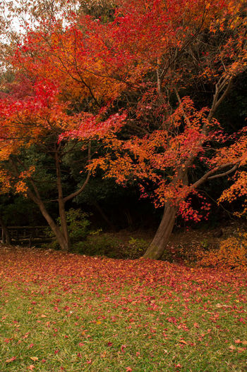 Red autumn tree in forest