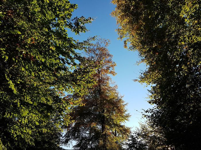 Plant Tree Growth Low Angle View Beauty In Nature Sky No People Nature Tranquility Green Color Day Forest Land Autumn Scenics - Nature Tranquil Scene Outdoors Clear Sky Change Branch Tree Canopy  Directly Below Coniferous Tree