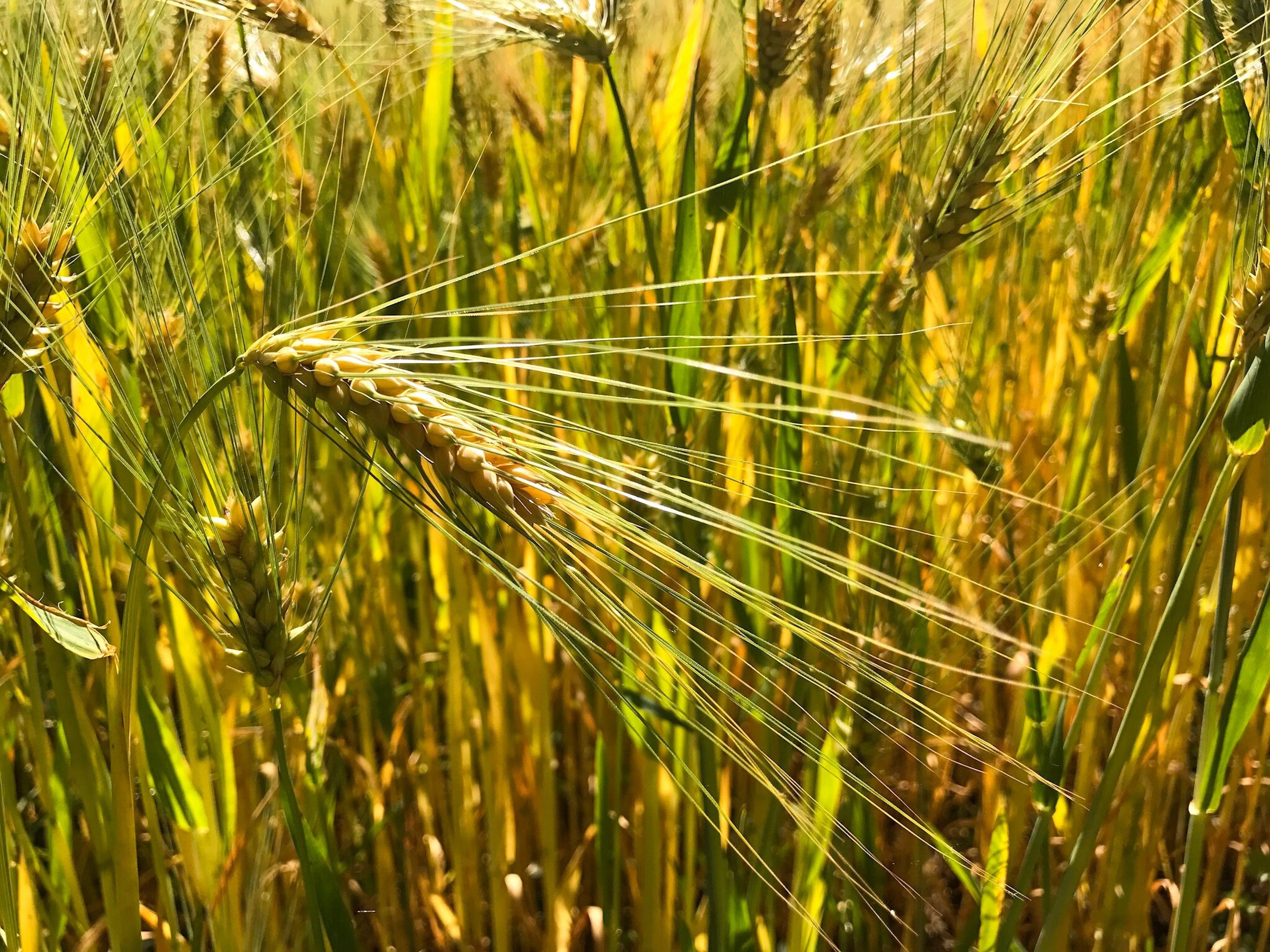 growth, cereal plant, nature, agriculture, crop, field, wheat, plant, grass, ear of wheat, farm, green color, outdoors, rural scene, beauty in nature, no people, day, close-up, tranquility, rye - grain, freshness