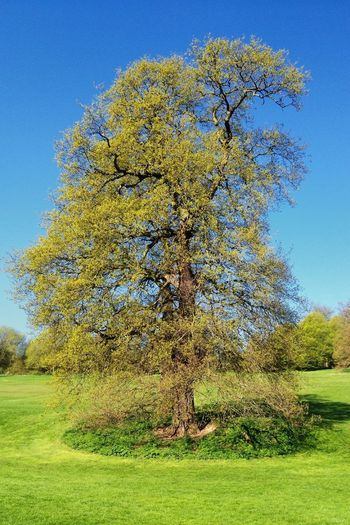 Tree on grassy field against clear blue sky