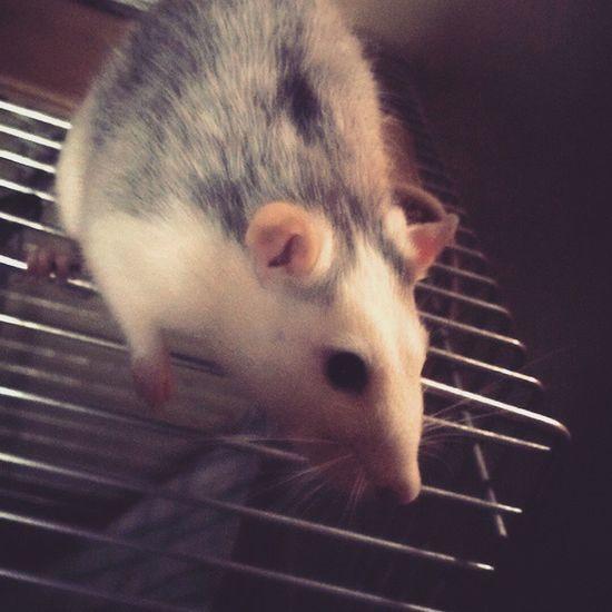 Najpiekniejszy Rat Szczur Bestia Dziecko Dziki Zwierzak Wild Animal Otto Myrat Kid Badboy Instarat Gej