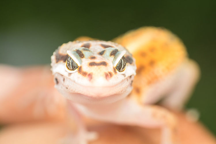 Close-Up Portrait Of A Lizard