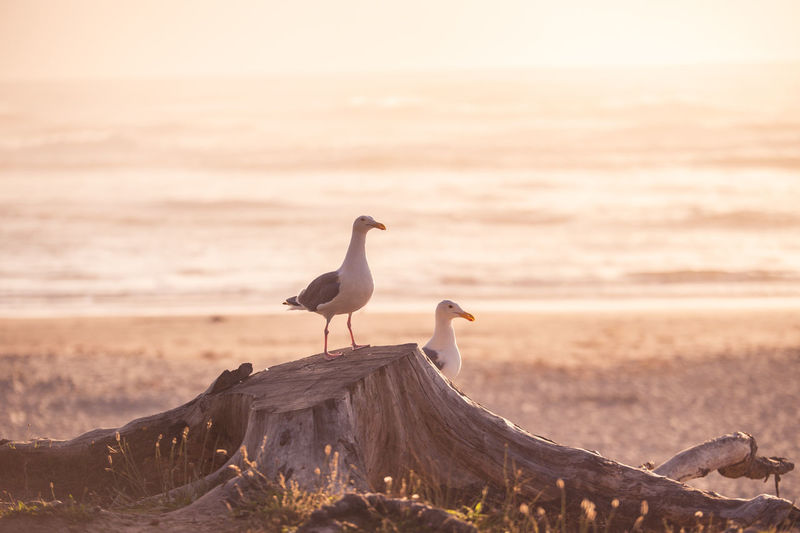 Seagulls perching on tree stump at beach