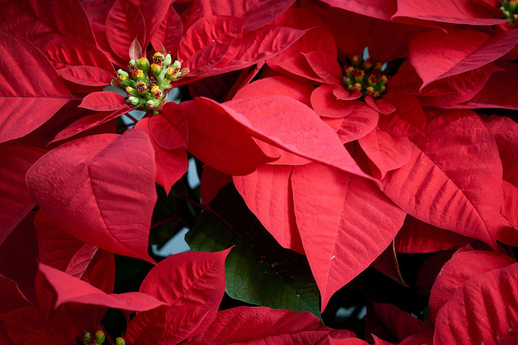 Christmas Stars Backgrounds Beauty In Nature Blooming Close-up Day Flower Flower Head Fragility Freshness Full Frame Growth Leaf Nature No People Outdoors Petal Plant Red