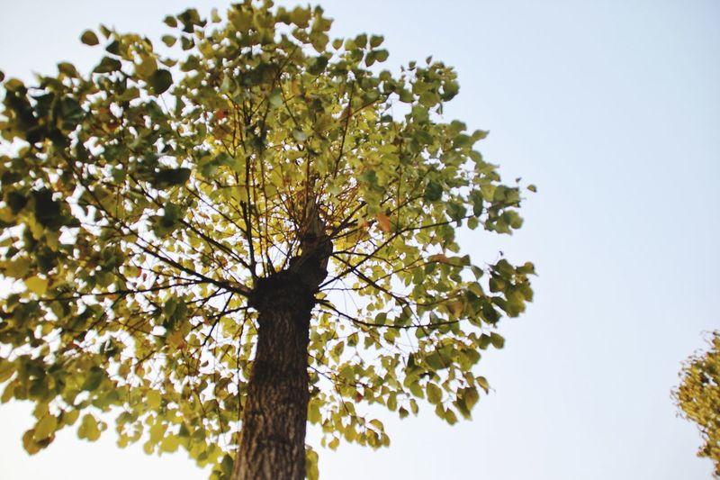 "阳光的滋润,让银杏树的叶子们更加活力四射。它们尽力地获取更多的阳光,黄得越发灿烂。走过银杏树下的人,纷纷赞叹醉人的黄色,无不被叶子迸发的活力感染。即便是几片飘零的叶子落地,人们也称赞:""好美丽呀!撒在地上,像金黄色的地毯。""Sunshine moisture, so that the leaves of the ginkgo tree more vibrant. They try their best to get more sunlight, the more brilliant yellow. Ginkgo tree people have praised the intoxicating yellow leaves are all burst of energy infection. Even a few pieces of falling leaves fall, people also praise: ""good beauty! And sprinkled on the ground, like a golden carpet."""