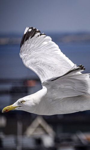 Side view of seagull flying outdoors