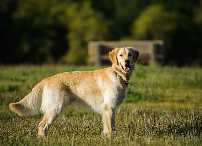 Golden Retriever dog outdoor photography Golden Retriever Nature Animal Themes Day Dog Domestic Animals Focus On Foreground Full Length Golden Hour Grass Looking At Camera Mammal Nature No People One Animal Outdoors Pets Portrait Purebred Purebred Dog Retriever