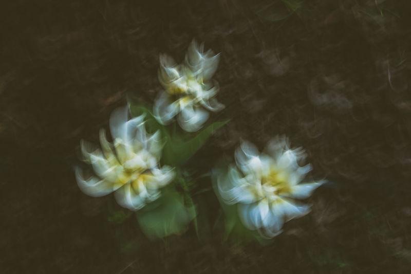 Dancing tulips