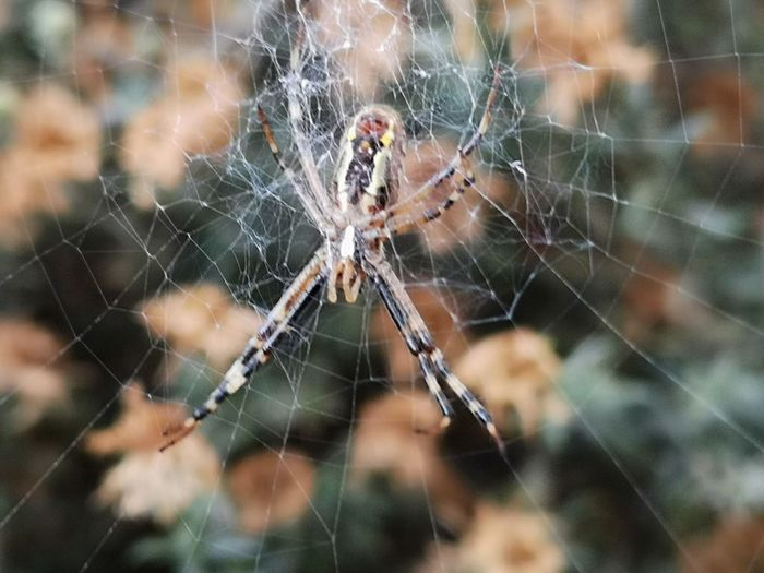 ▫️Spider lurks in its web▫️ First Eyeem Photo Eyemphotography EyEmNewHere Eyemnaturelover Animal Leg Web Trapped Spider Web Spider Survival Hanging Arachnid Insect