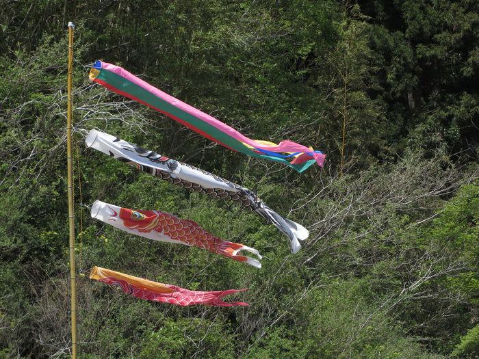 Carp Streamer Grass Green Color Japan Kodomonohi Koinobori May May 5  No People こいのぼり こどもの日