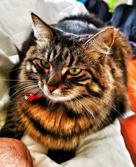 """""""Chunky Monkey"""" Pets Portrait Feline Domestic Cat Whisker Looking At Camera Close-up Tabby Cat Tabby Cat"""