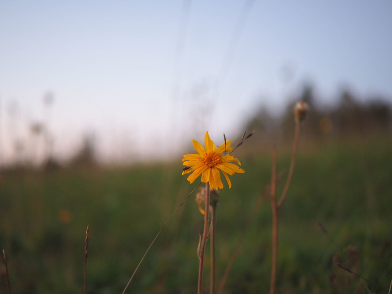 CLOSE-UP OF YELLOW FLOWER ON FIELD AGAINST SKY
