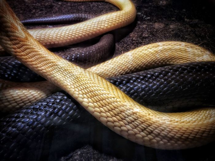 Black Snake Close-up Earth Colors Indoors  Maximum Closeness No People Snakes White Snake
