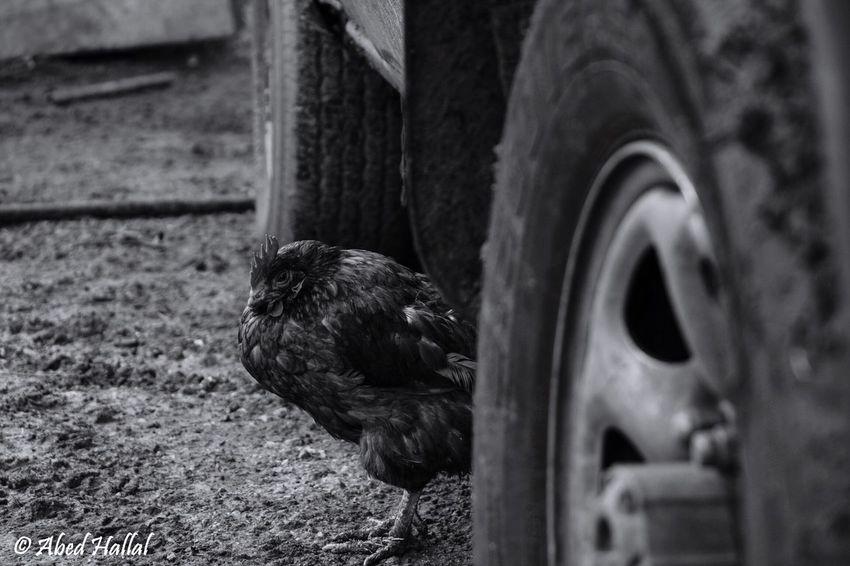 Blackandwhite Lebanon Taking Photos Lovley  Morning Animals Chiken