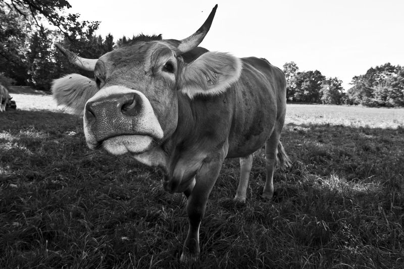 portait of a cow Black & White Animal Themes Black And White Blackandwhite Cattle Close Up Close-up Cow Day Domestic Animals Field Grass Livestock Looking At Camera Mammal Nature No People Outdoors Portrait Rural Scene Sky Tree Wide Angle