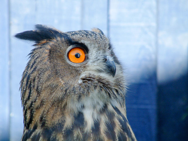 her name is saramin :) Animal Eye Animal Nose Animal Themes Animals In The Wild Beak Beauty In Nature Bird Bird Of Prey Close-up Eagle - Bird Eagle Owl  European Eagle Owl Focus On Foreground Front View No People One Animal Owl Portrait Wildlife Zoology