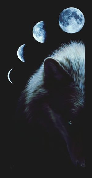 Wolf Wolfphotography Moon Moons Moonphase