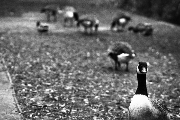 Animal Themes Beach Blackandwhite Canadian Geese Close-up Day Focus On Foreground Geese Lifestyles Monochrome Outdoors People Real People