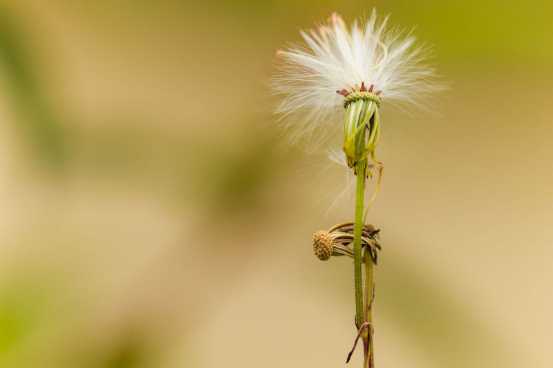 Plant Freshness Beauty In Nature Close-up Fragility Vulnerability  Growth Focus On Foreground Nature No People Outdoors Dandelion Dandelion Seed Nature Macro Photography Macro Beauty Green EyeEmNewHere