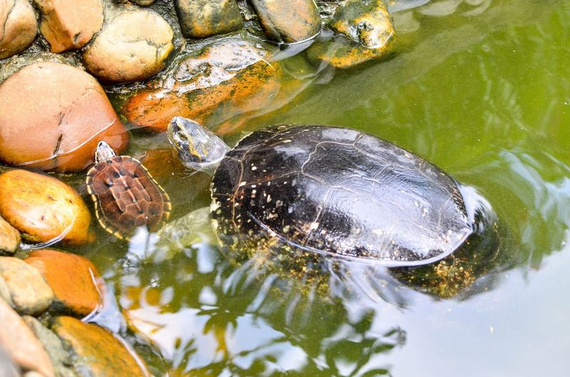 Turtle mother & baby Water Animal Animal Wildlife Animal Themes Animals In The Wild Vertebrate Swimming Shell No People Animal Shell One Animal Nature Turtle Sea Life