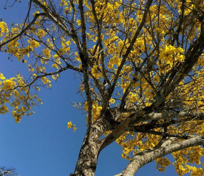 Flowers Ypê Ypê-amarelo