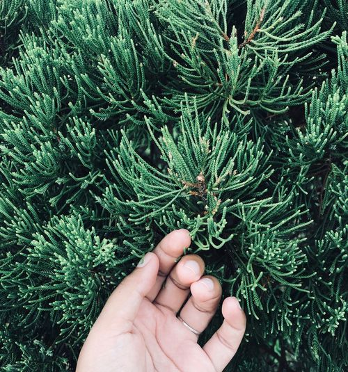 Cropped Hand Of Person Touching Pine Tree