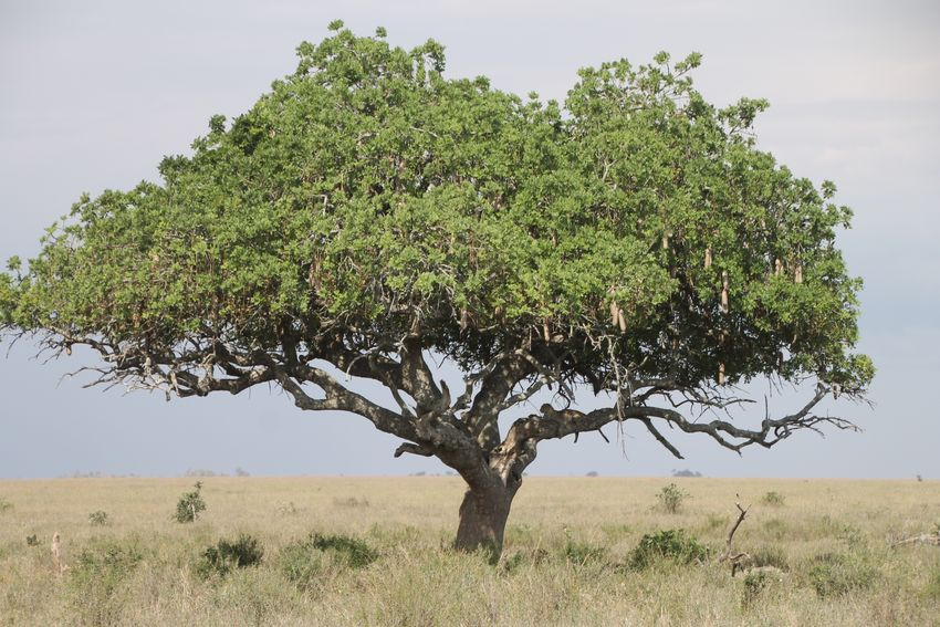 Tree Nature Growth No People Outdoors Beauty In Nature Day Landscape Branch Grass Sky Tanzania Serengeti National Park Serengeti Leopard
