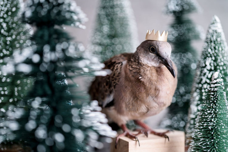 mountain dove with fake tree on grey background studio set photo shoot Outdoors Holiday Close-up Winter No People Perching Day Celebration Plant Animals In The Wild Animal Wildlife Nature Focus On Foreground Tree One Animal Vertebrate Animal Animal Themes Bird