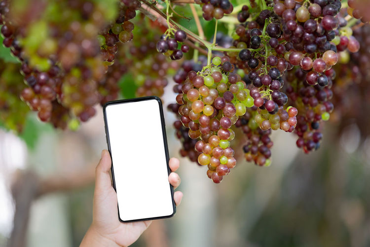 Farmer holding smartphone with empty screen on hand in the grape garden. Quality Grapes 🍇 Finger Outdoors Real People Communication Freshness Plant Nature Day Hand Smart Phone One Person Human Hand Portable Information Device Human Body Part Wireless Technology Focus On Foreground Holding Technology Food And Drink Healthy Eating Food Fruit Ripe